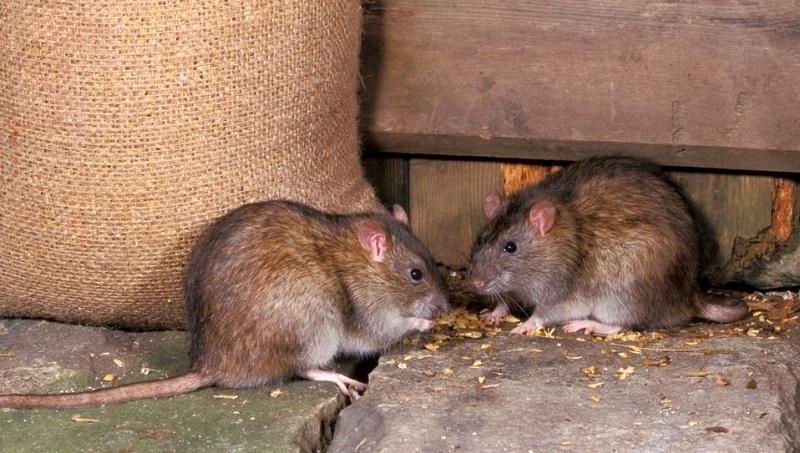 Phòng ngừa, tiêu diệt và kiểm soát chuột